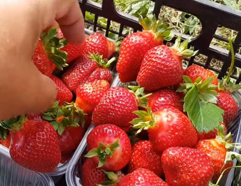 Клубника бонсай для сада, огорода, фермы